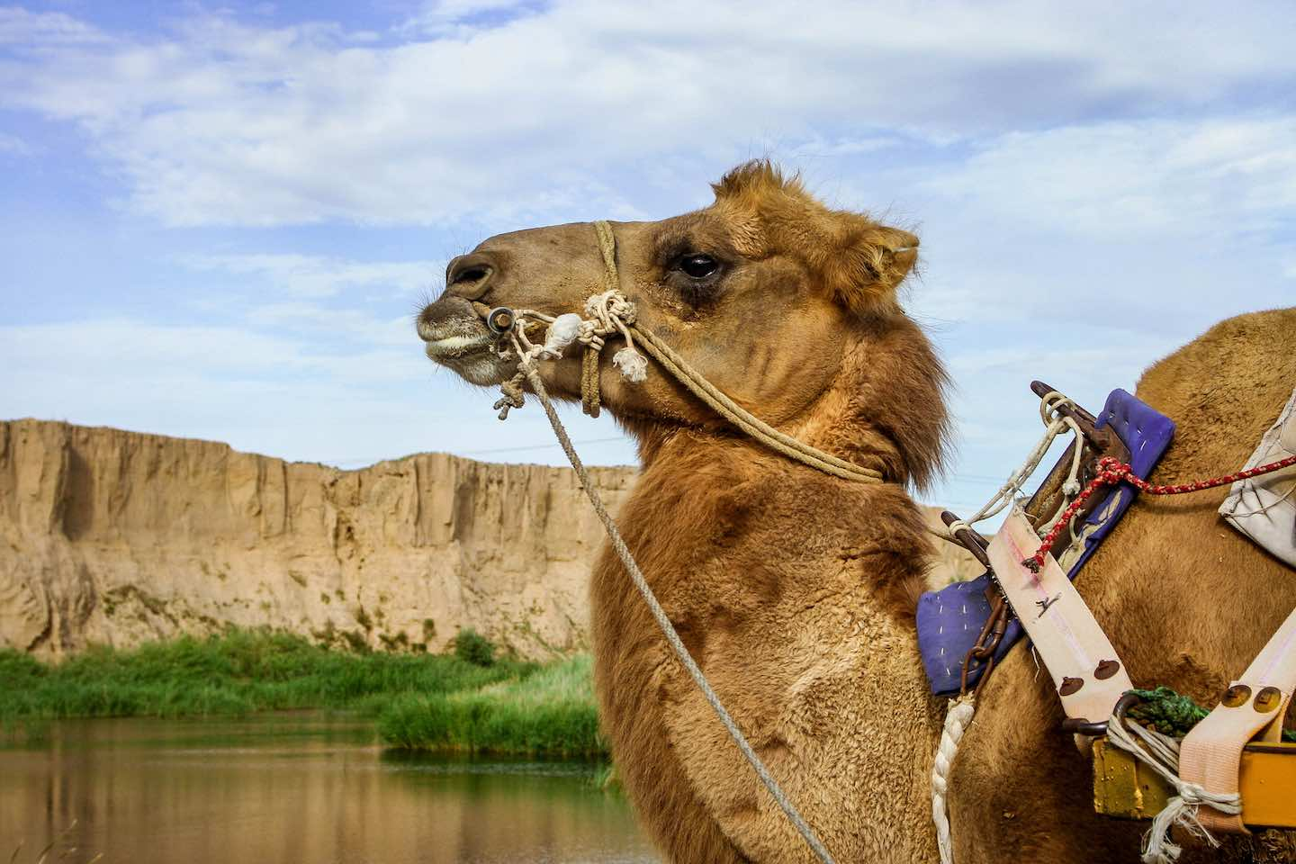 Camel at Shuidonggou Historic Site in Yinchuan | Image © ExpatAlli.com
