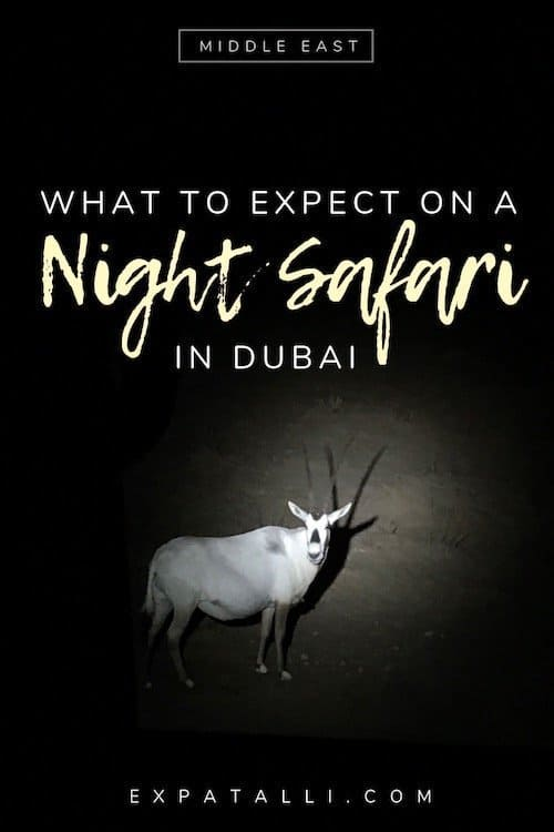 "Pinterest image of an arabian oryx on a Dubai night safari, with text: ""What to expect on a night safari in Dubai"""