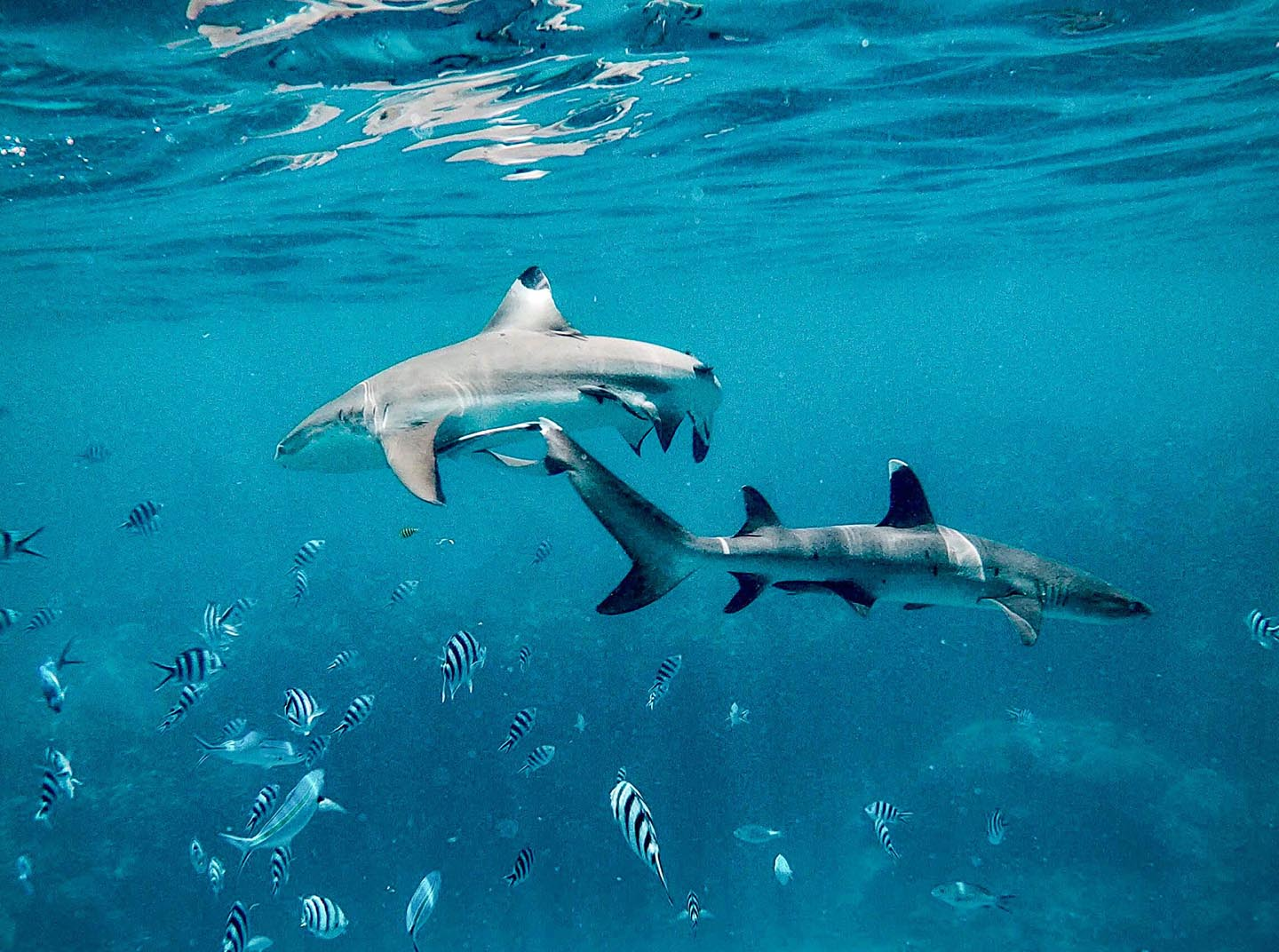 Diving with sharks at Barefoot Kuata | Image © ExpatAlli.com
