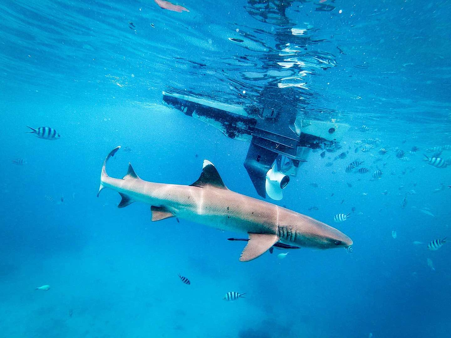 Image of reef shark in front of motorboat