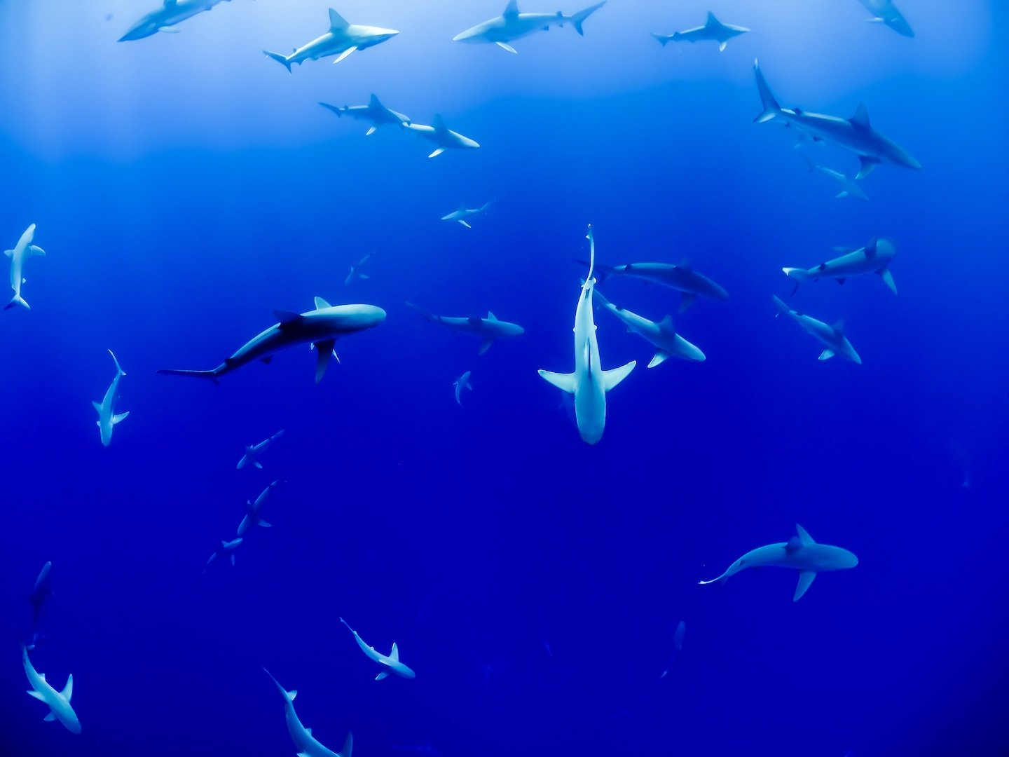 Image of sharks circling in the ocean